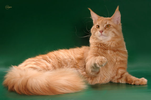 Котята породы Мейн-кун в Украине.