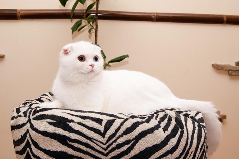 Итак, Вы решили купить породистого котенка