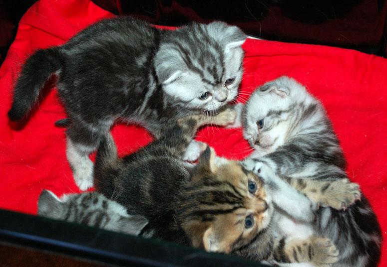 Роды шотландских вислоухих и прямоухих кошек.