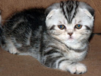 About Scottish Fold