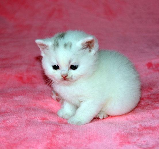 Шотландский прямоухий котенок.