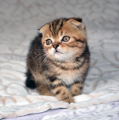 Шотландский вислоухий котик.
