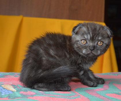 Шотландский вислоухий котенок.